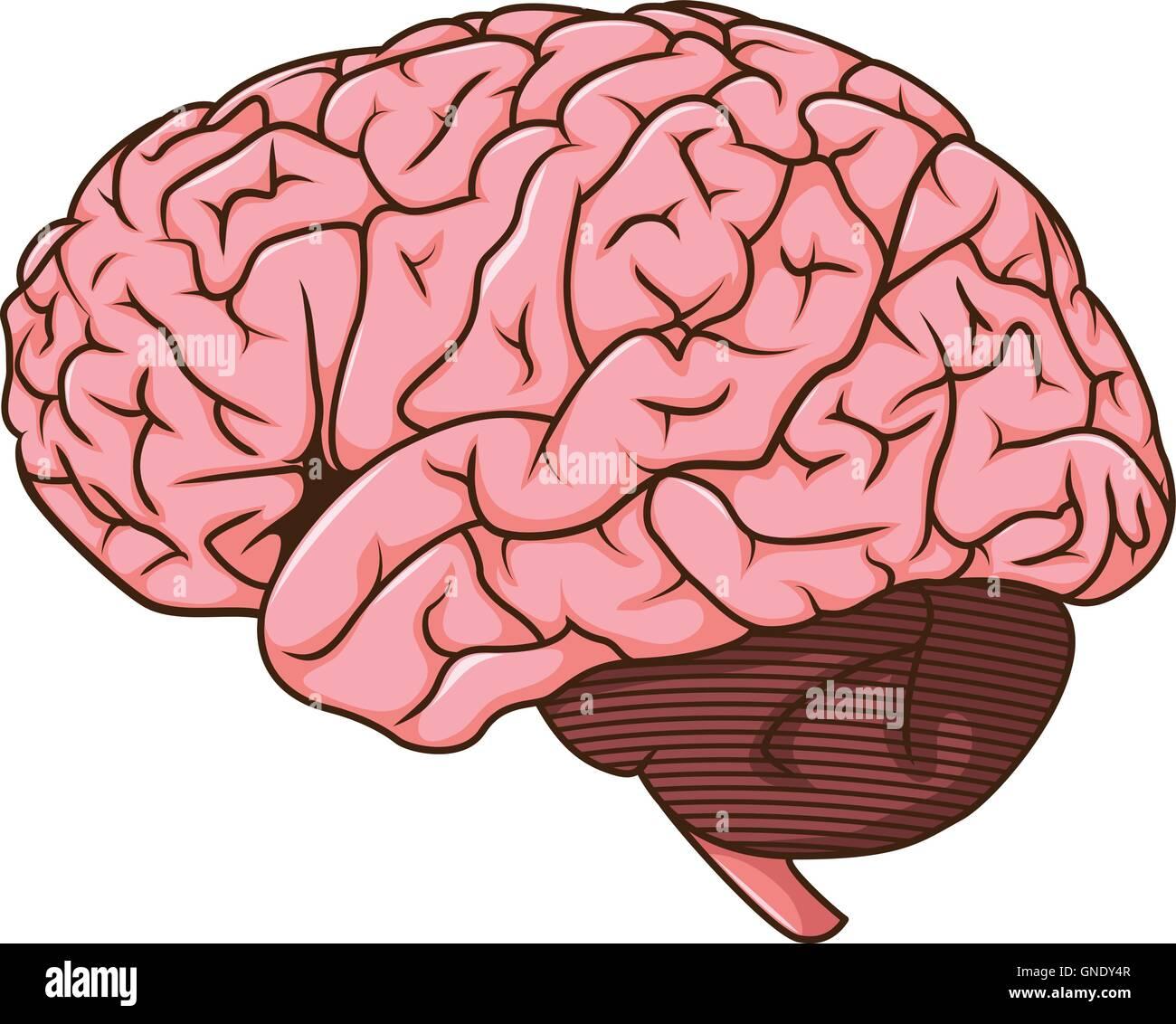 Cerebro Humano cartoon Imagen De Stock