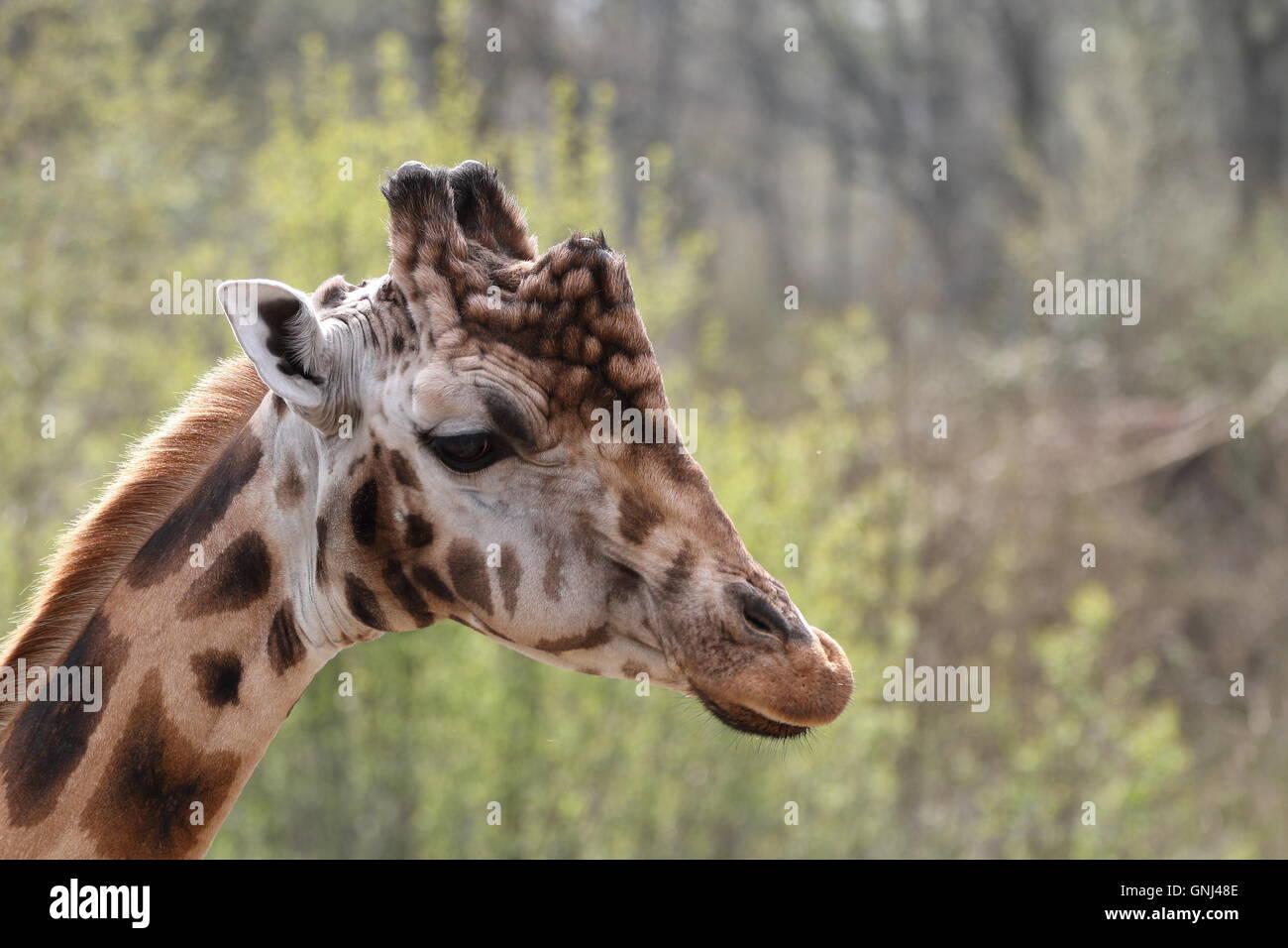 Una foto de la cabeza de un hombre joven jirafa (Giraffa camelopardalis) visto desde el lateral, con un fondo borroso. Imagen De Stock
