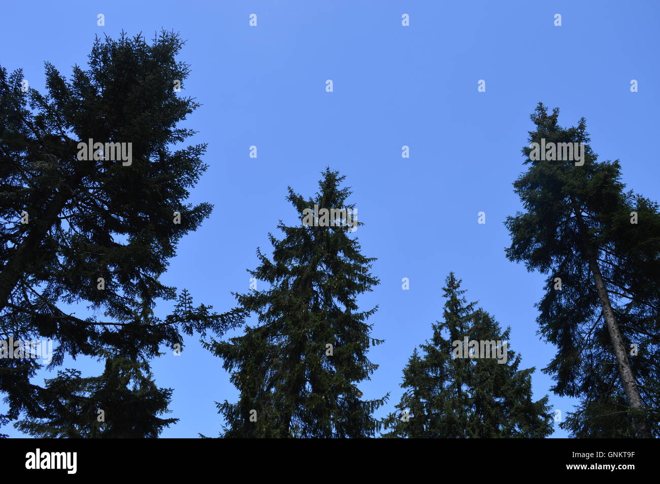 El azul claro del cielo detrás de las copas de los árboles Imagen De Stock