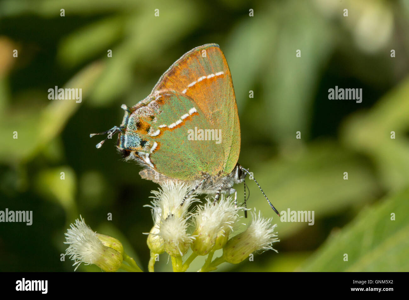 Juniper Hairstreak Callophrys gryneus Montañas Santa Rita, Arizona, Estados Unidos de América el 28 de agosto de adulto en el sauce (Seep Bacchari Foto de stock