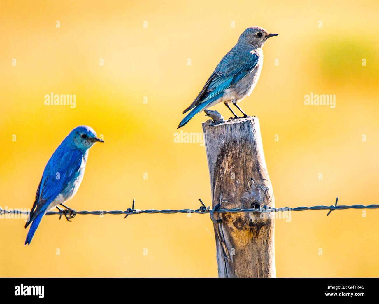 Macho y Hembra Blue Birds montaña encaramado en poste de cerca. Las aves del Estado de Idaho, Idaho, EE.UU. Imagen De Stock