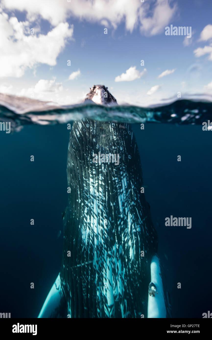 Spyhopping ballena jorobada, Megaptera novaeangliae, Banco de Plata, Océano Atlántico, República Dominicana Foto de stock