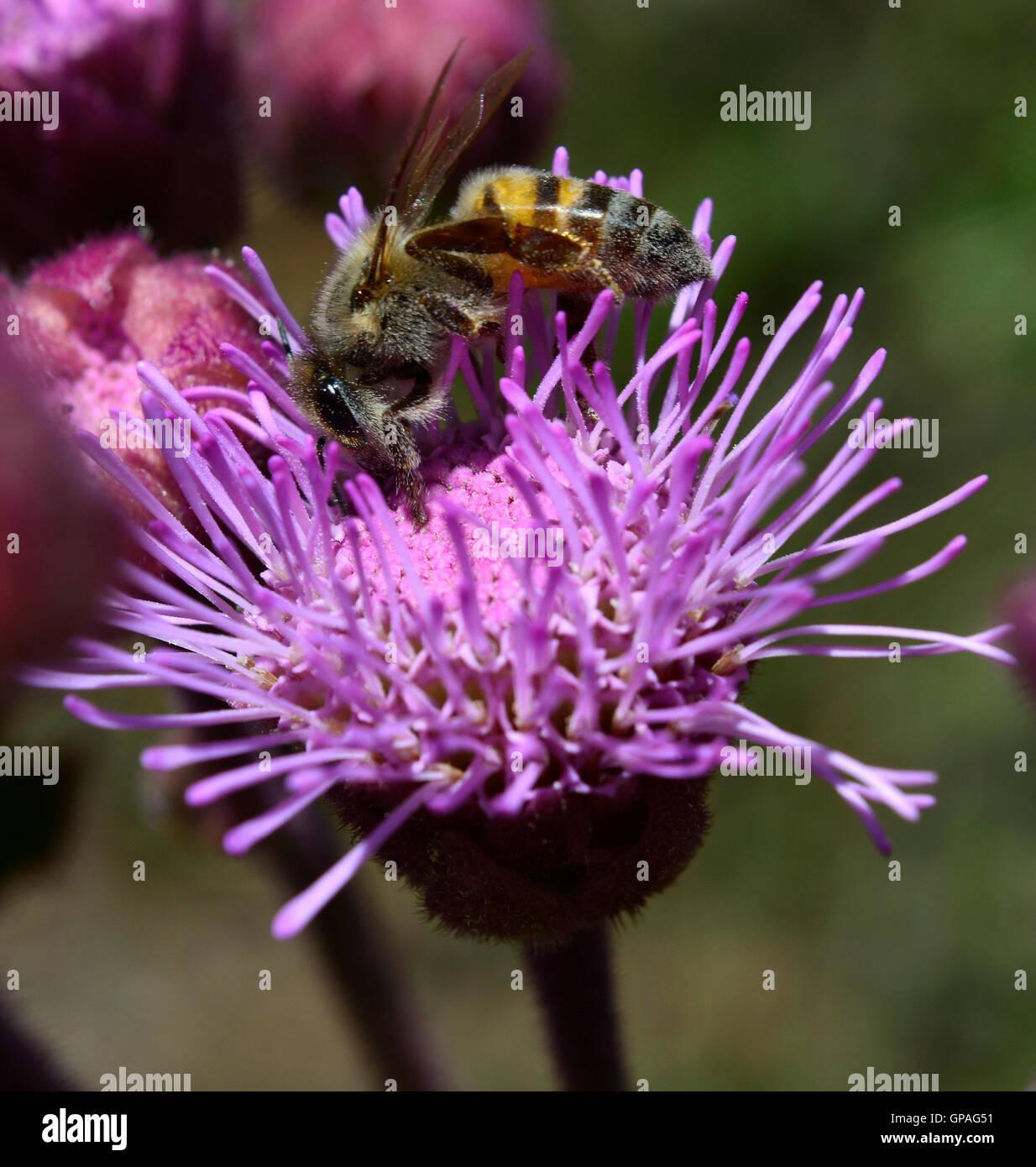 Cerca de macro trabaja duro recolección de miel de abeja silvestre el polen y el néctar de una rosa púrpura Imagen De Stock