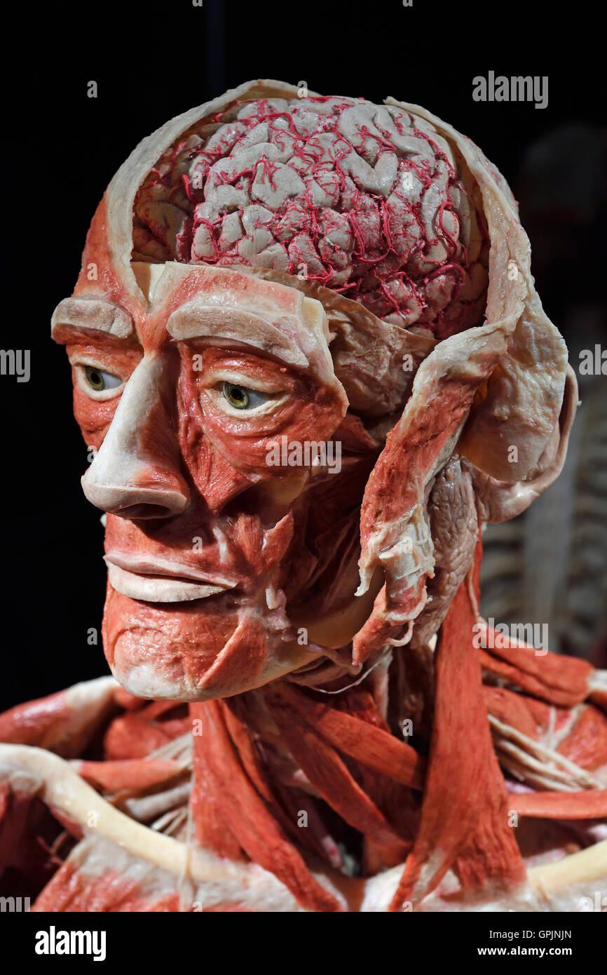 Plastinate, macho cabeza humana, Body Worlds, Menschen Museum, Berlín, Alemania Imagen De Stock