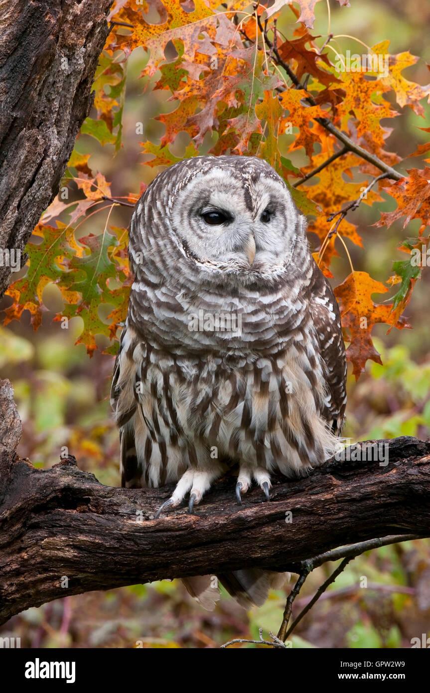 Prohibido Owl (Strix varia) en otoño e EE.UU. Foto de stock