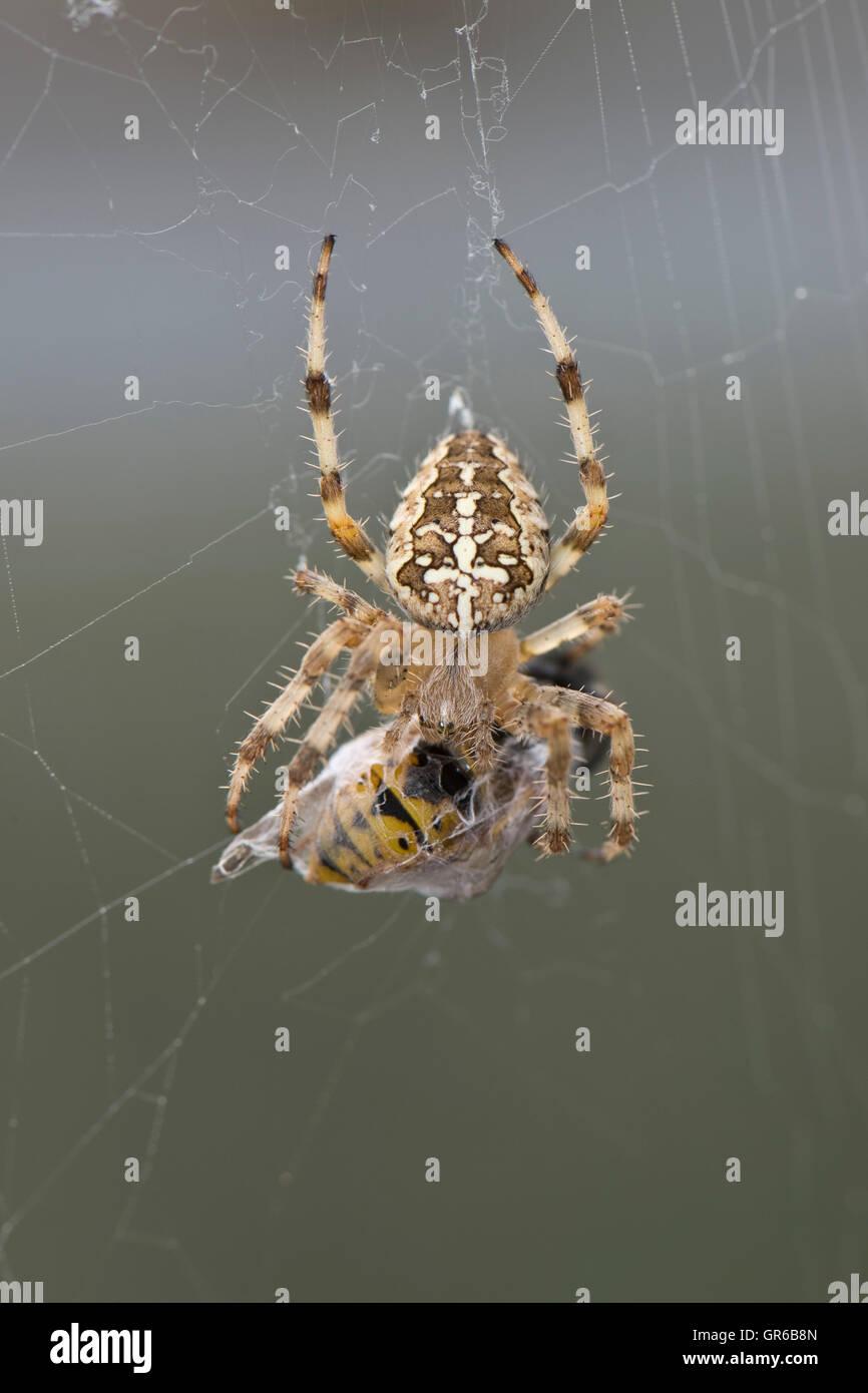 Unión araña de jardín, Araneus diadematus, en su web con la avispa presa en un capullo de seda Imagen De Stock