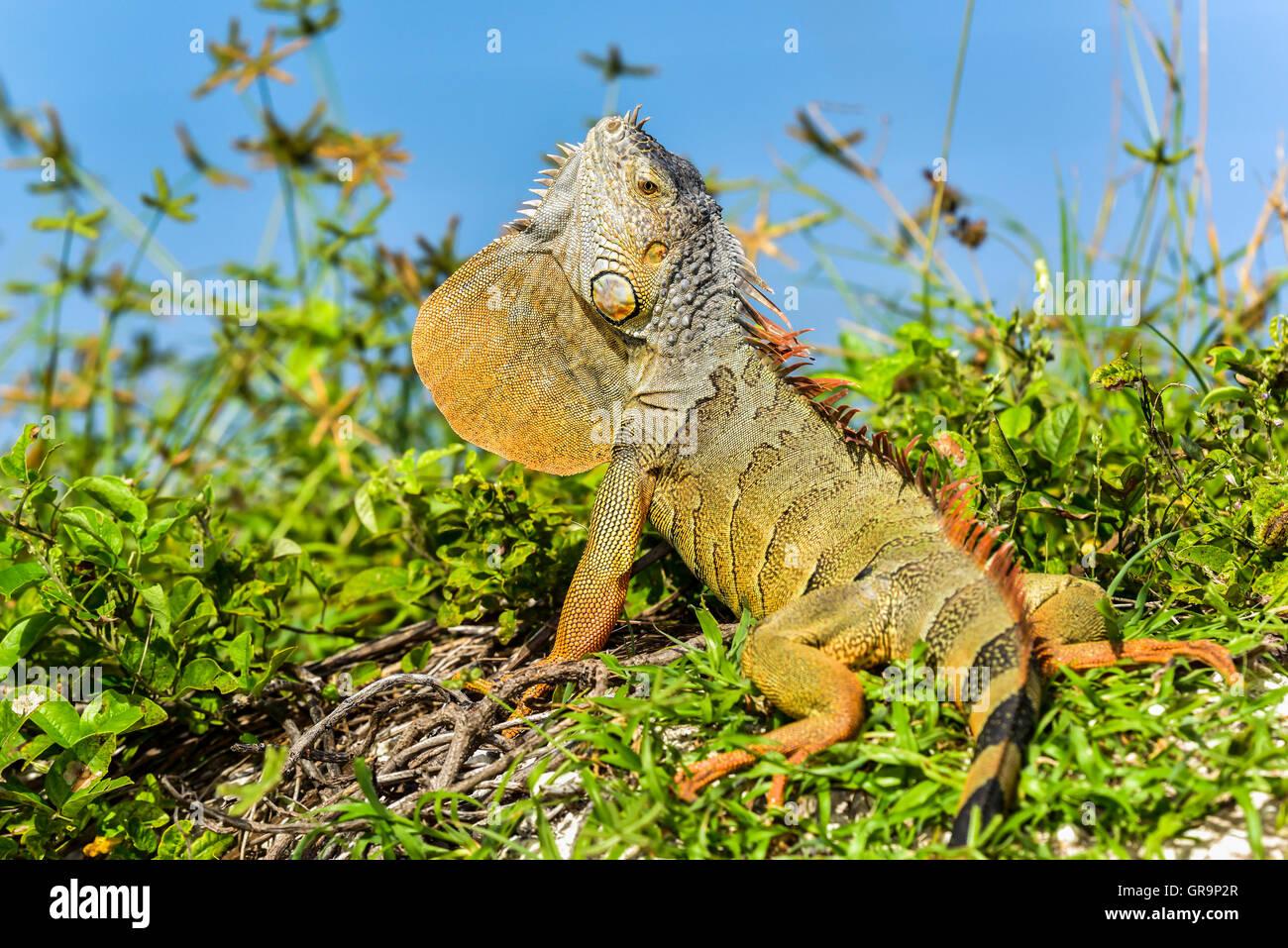 Iguana verde Imagen De Stock