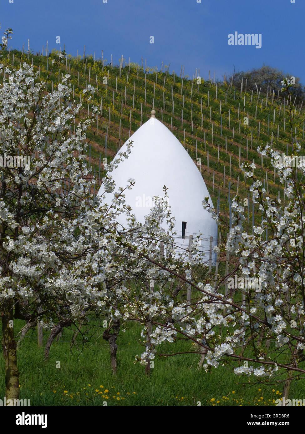 En los viñedos de Trullo Rhinehesse, Alemania Imagen De Stock