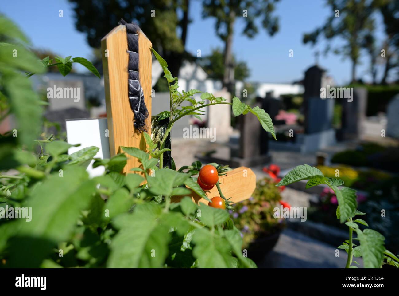 Tomates rojos colgando de una planta en una tumba en el cementerio viejo en Franziskanerstrasse en Neuburg an der Imagen De Stock