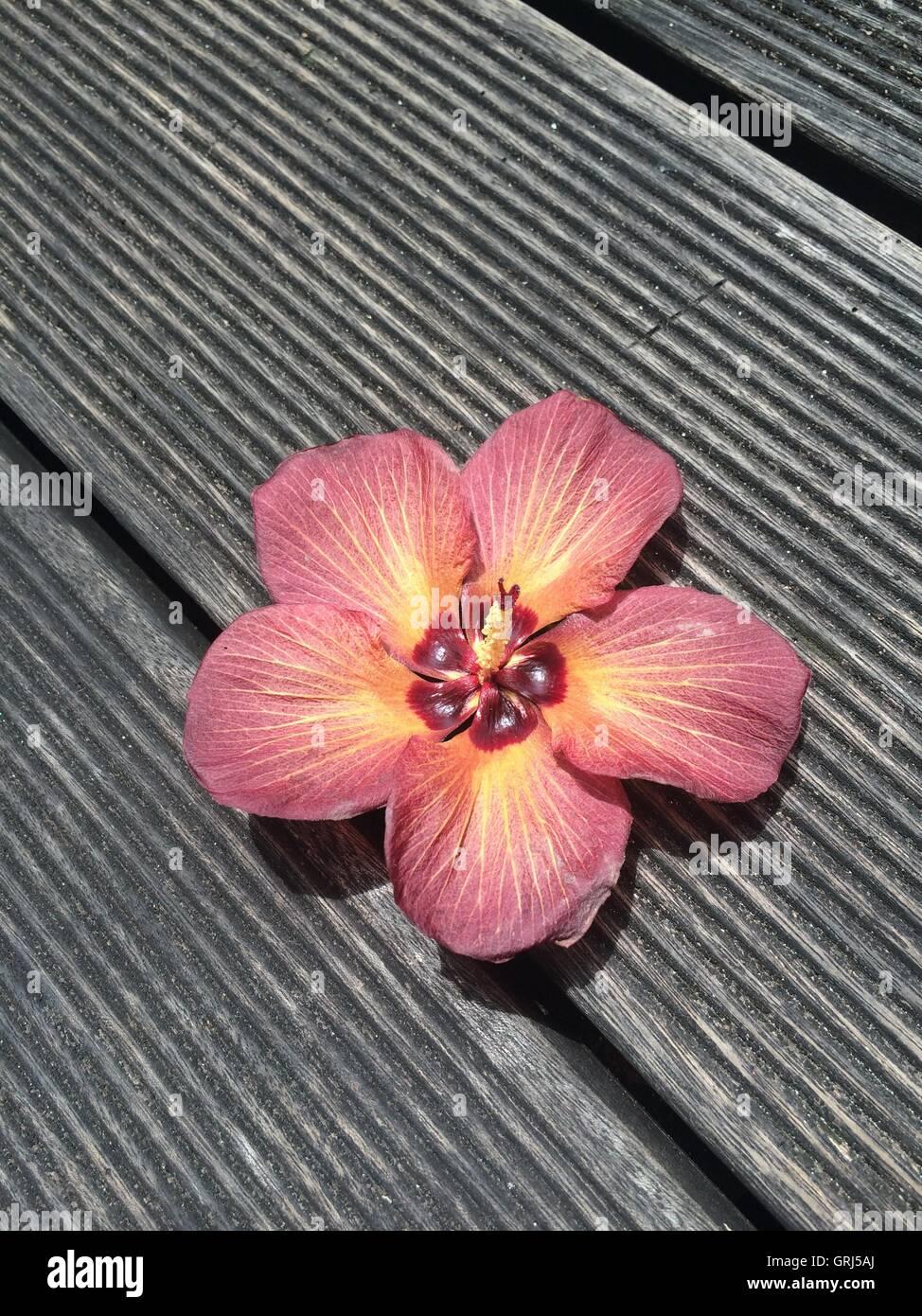 Stripey color melocotón con flor de madera Imagen De Stock