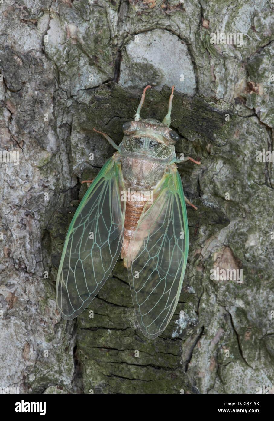 Cicada adulta Dogday Harvestfly (Tibicen canicularis) saliendo de la piel ninfal Este de los EE.UU. Imagen De Stock