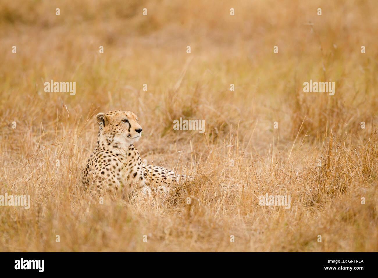 Guepardo en la hierba Imagen De Stock