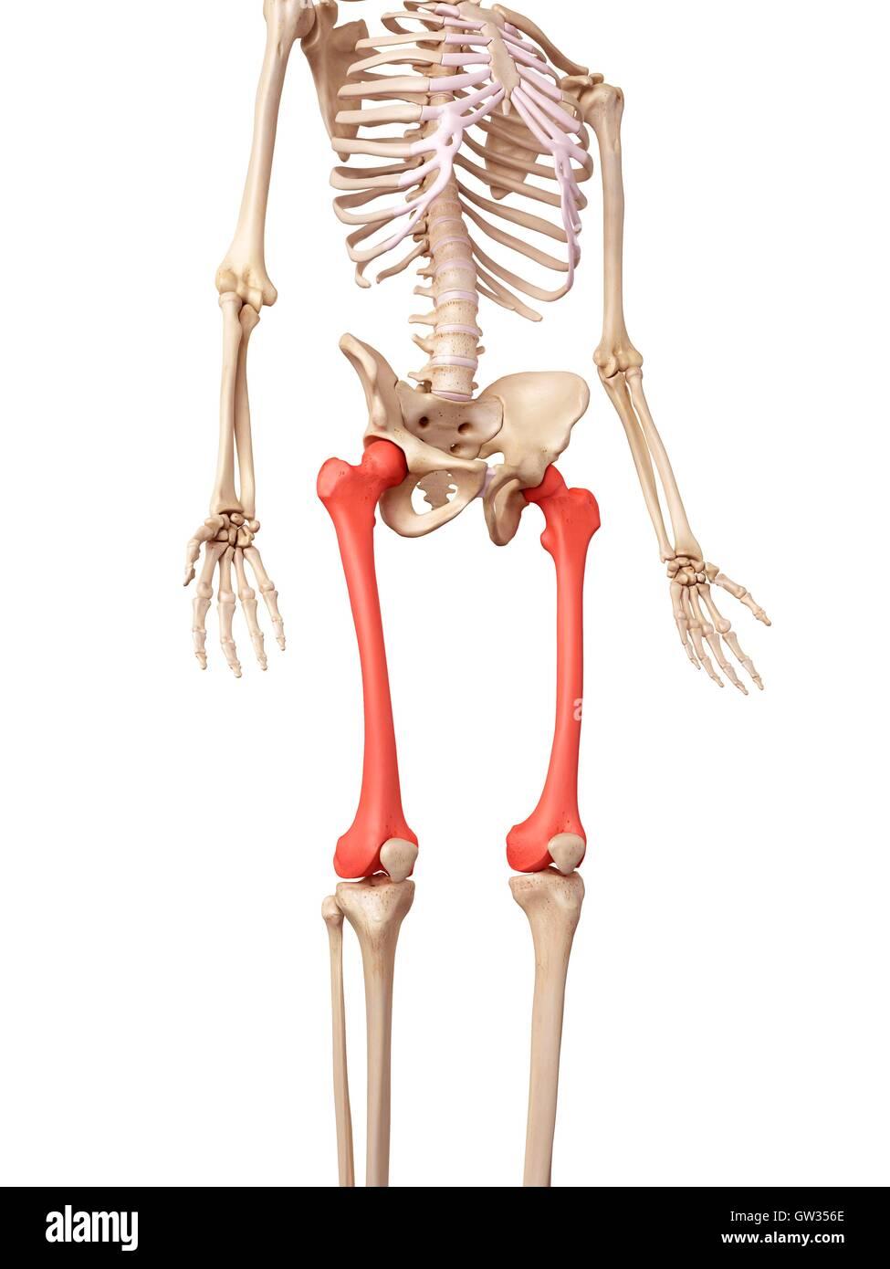 Los huesos de la pierna humana, ilustración Foto & Imagen De Stock ...
