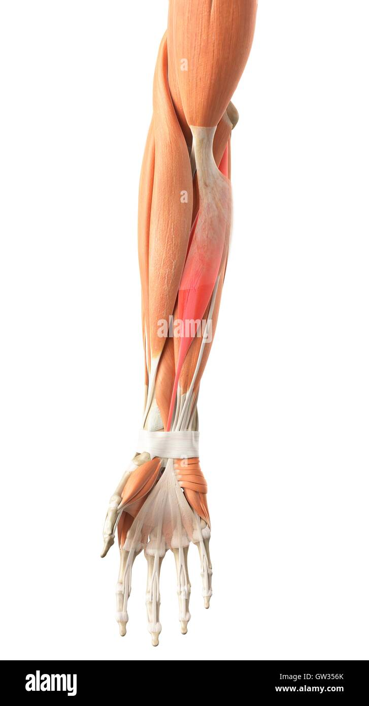 Los músculos del brazo humano, ilustración Foto & Imagen De Stock ...