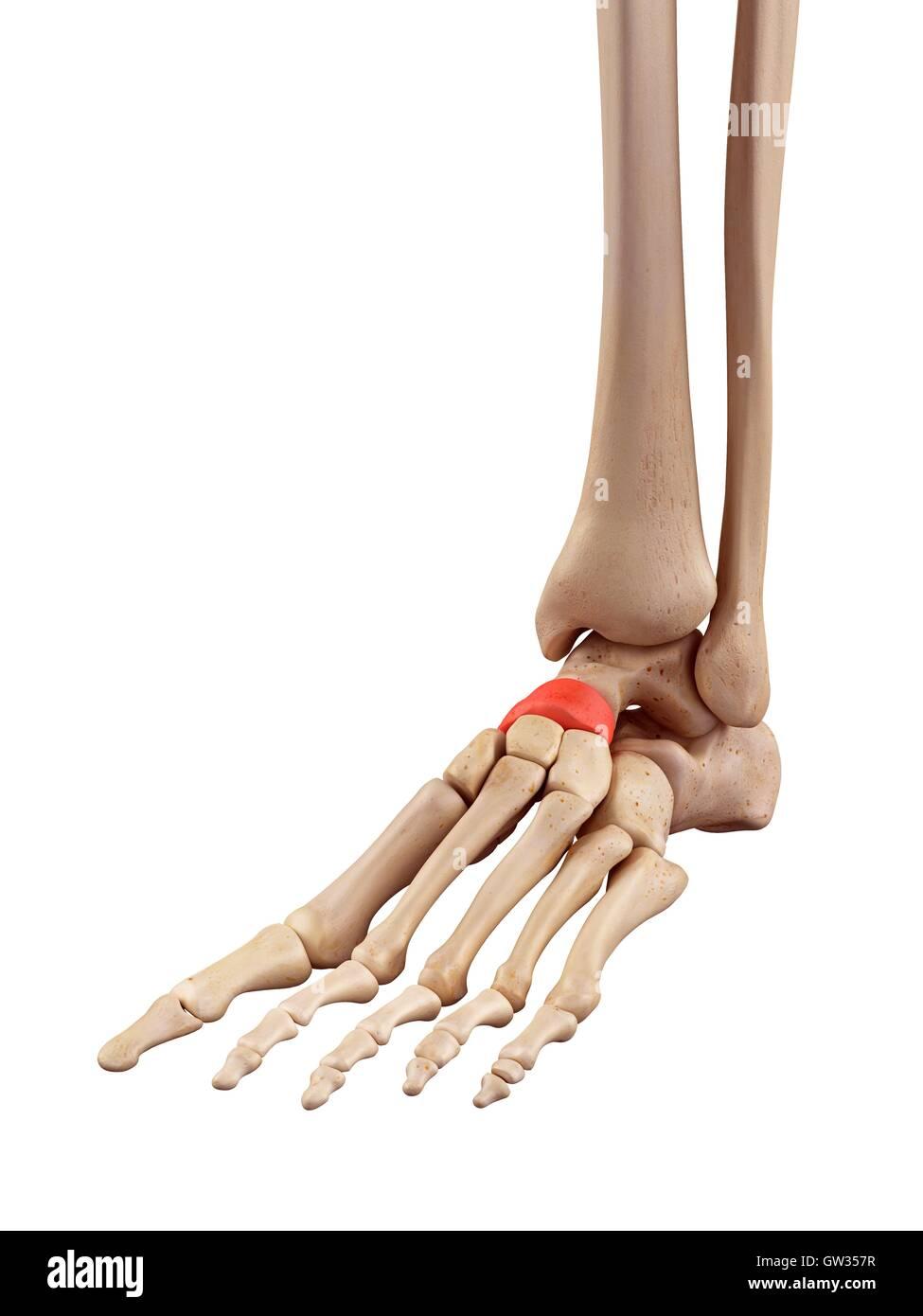 Los huesos del pie humano, ilustración Foto & Imagen De Stock ...