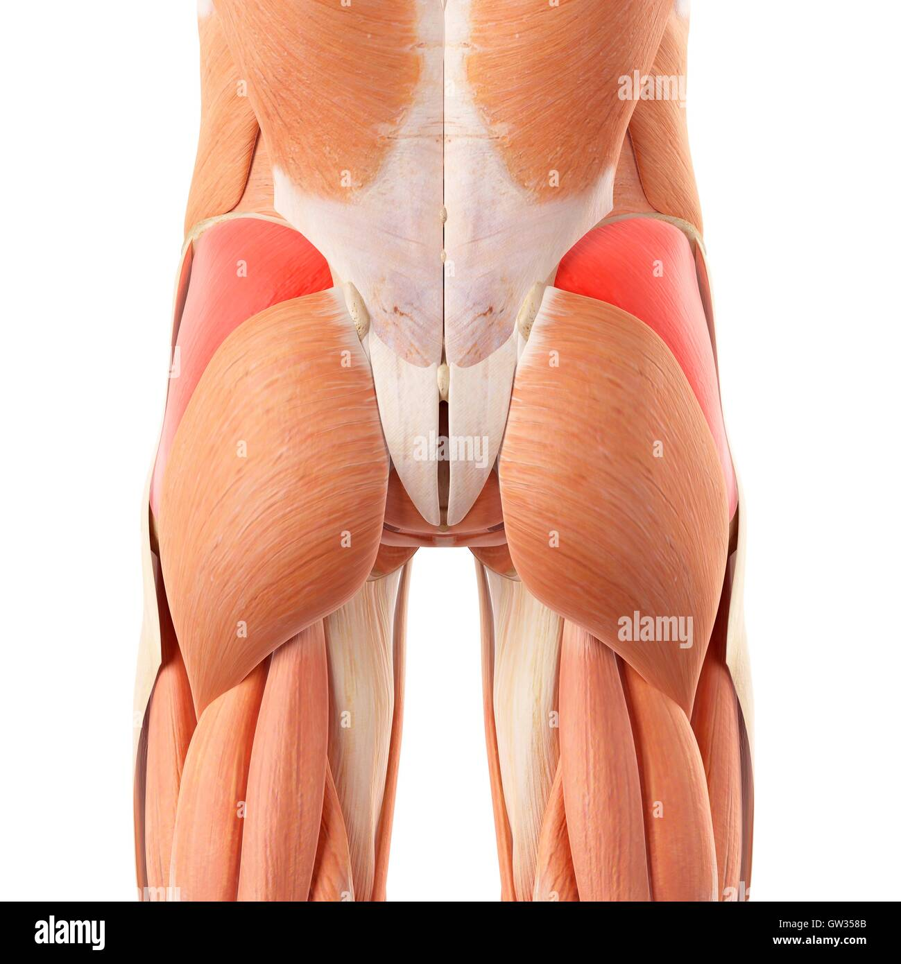 Anatomy Of Human Buttocks Imágenes De Stock & Anatomy Of Human ...