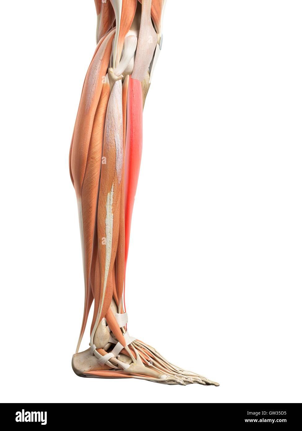 Los músculos de la pierna humana, ilustración Foto & Imagen De Stock ...
