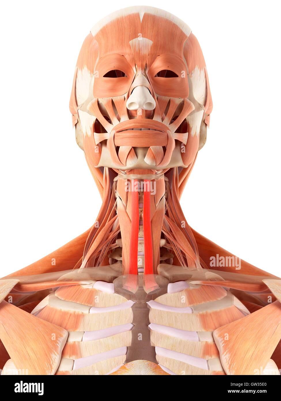 Derechos en los músculos del cuello, la ilustración Foto & Imagen De ...