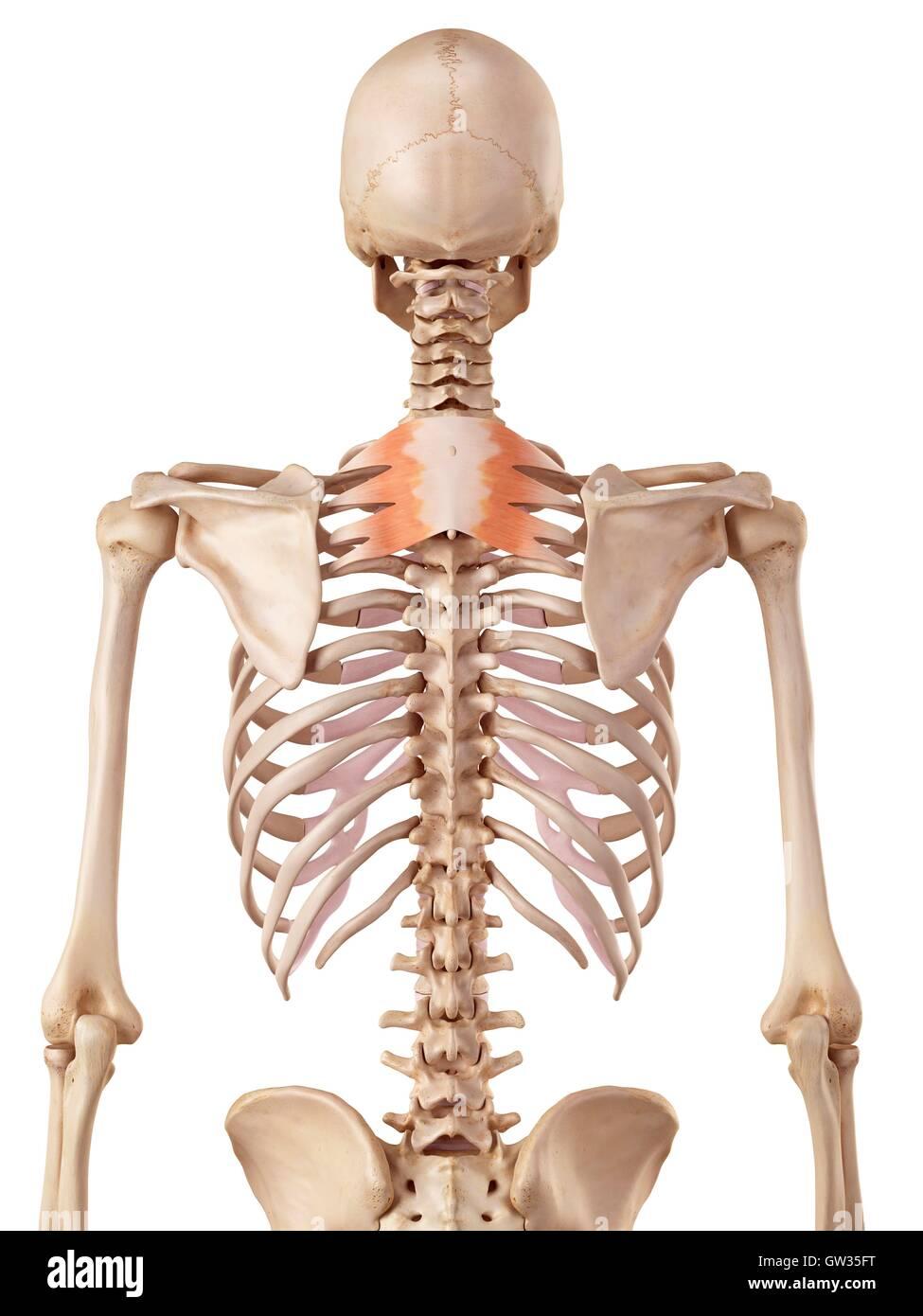 Dorable Músculos En El Diagrama De La Espalda Foto - Anatomía de Las ...