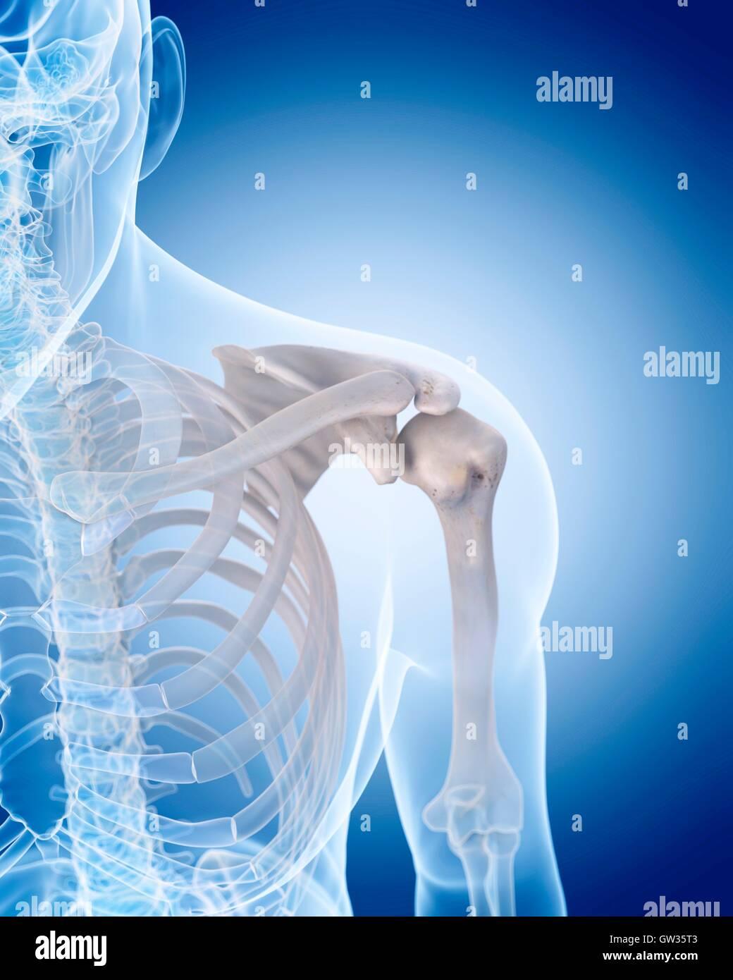 Los huesos del hombro humano, ilustración Foto & Imagen De Stock ...