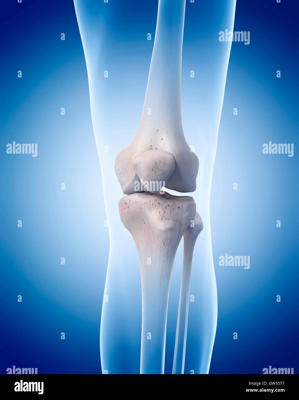 Patella Bones Imágenes De Stock & Patella Bones Fotos De Stock - Alamy