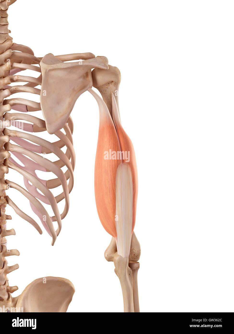 Human Triceps Imágenes De Stock & Human Triceps Fotos De Stock - Alamy