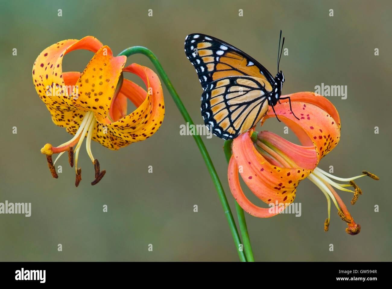 La mariposa virrey (Limenitis archippuson), American Tiger Lily Turk's Cap Lily, turbante, lirio (Lilium superbum), Este de los EE.UU. Foto de stock