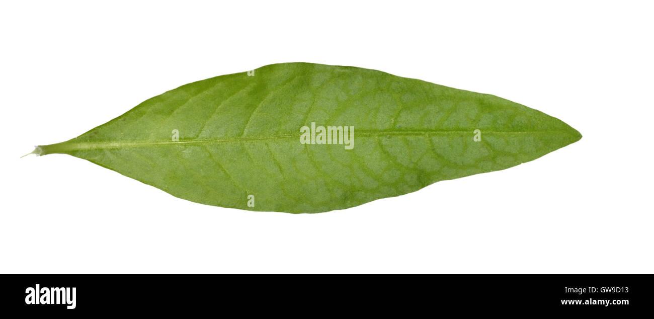 Pimienta de agua - Persicaria hydropiper Imagen De Stock