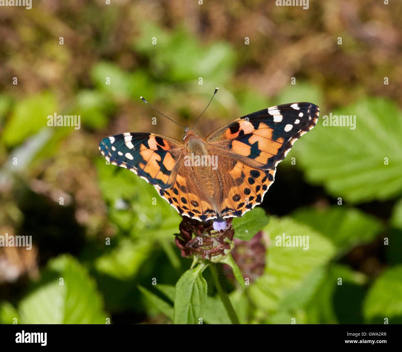 Painted Lady mariposa sobre flor de la autorrecuperación. Imagen De Stock