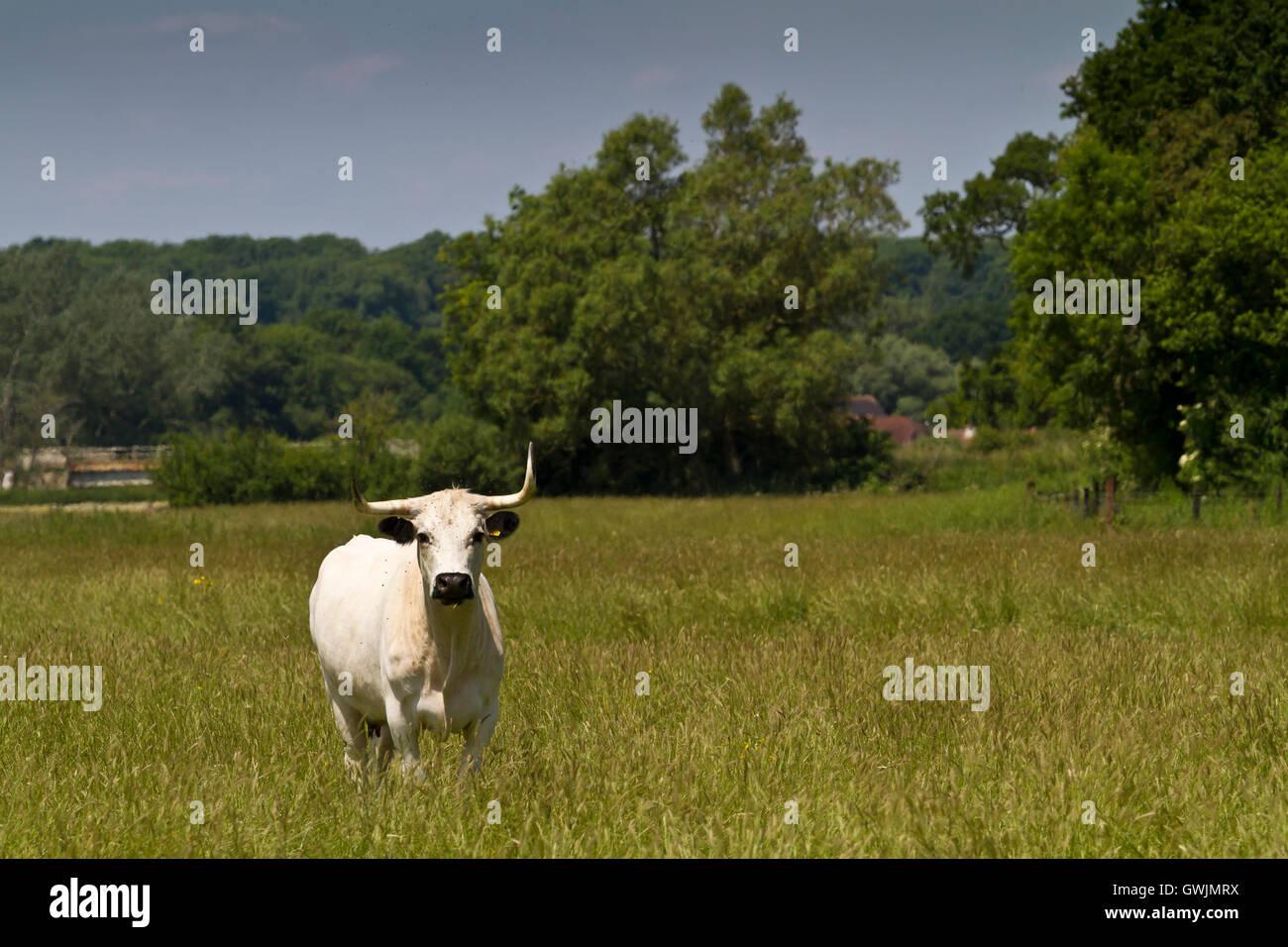Rara especie Inglés parque vaca blanca se situó en un campo mirando a la cámara, Dorset UK Foto de stock