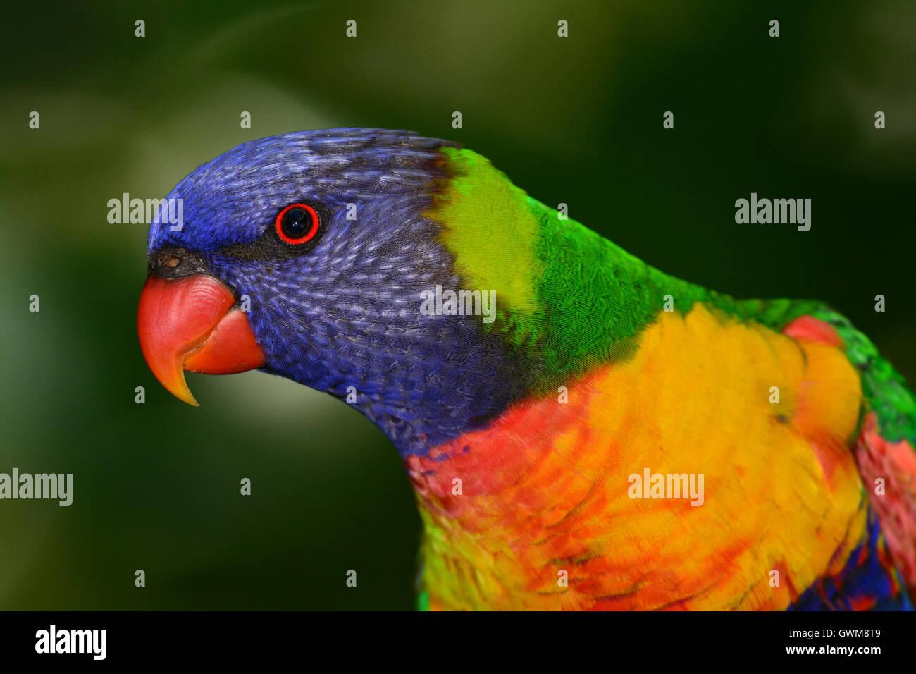 Rainbow Lorikeet retrato. Foto de stock