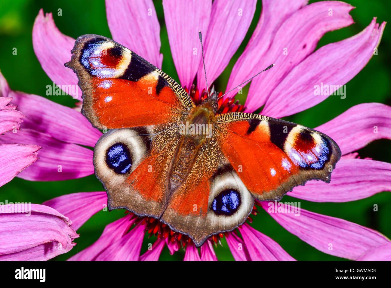 Unión Peacock Imagen De Stock