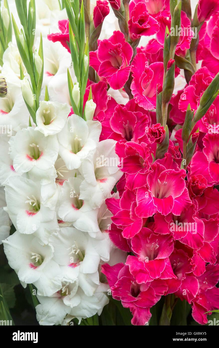 Gladiolus Karaoke Y Bach Gladiolos Flores En Un Arreglo