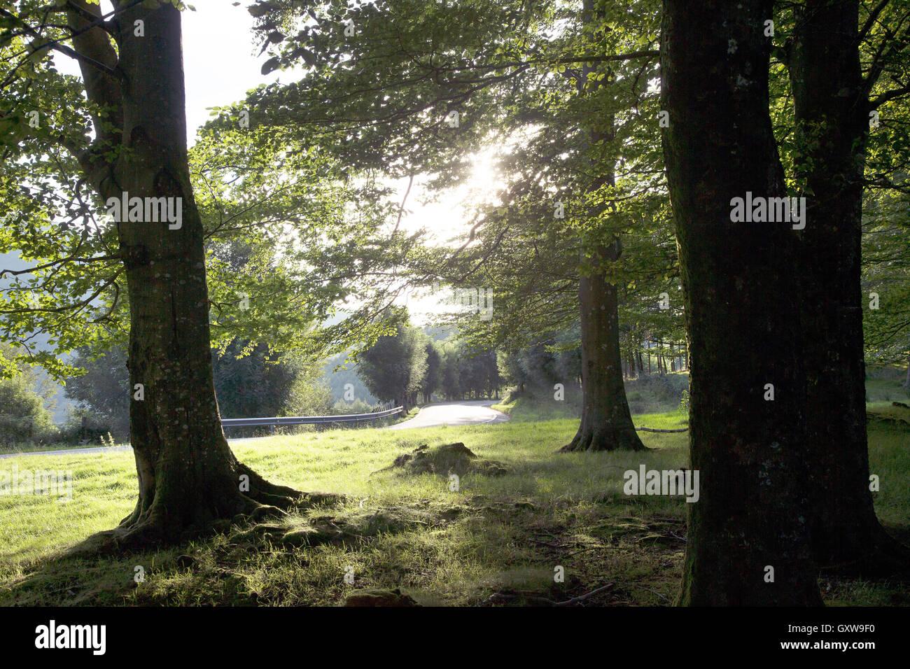 Temprano en la mañana la luz solar a través de árboles en los Pirineos. Foto de stock