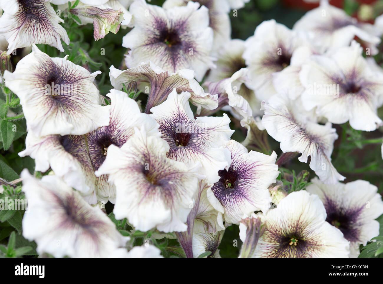 Petunia flores blancas con vetas púrpura, antecedentes Foto de stock