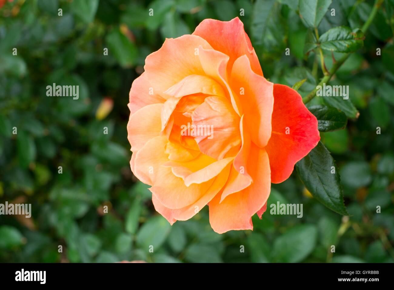 """Rosa Rosa """"beca"""". Floribunda, arbusto compacto rosa. Imagen De Stock"""