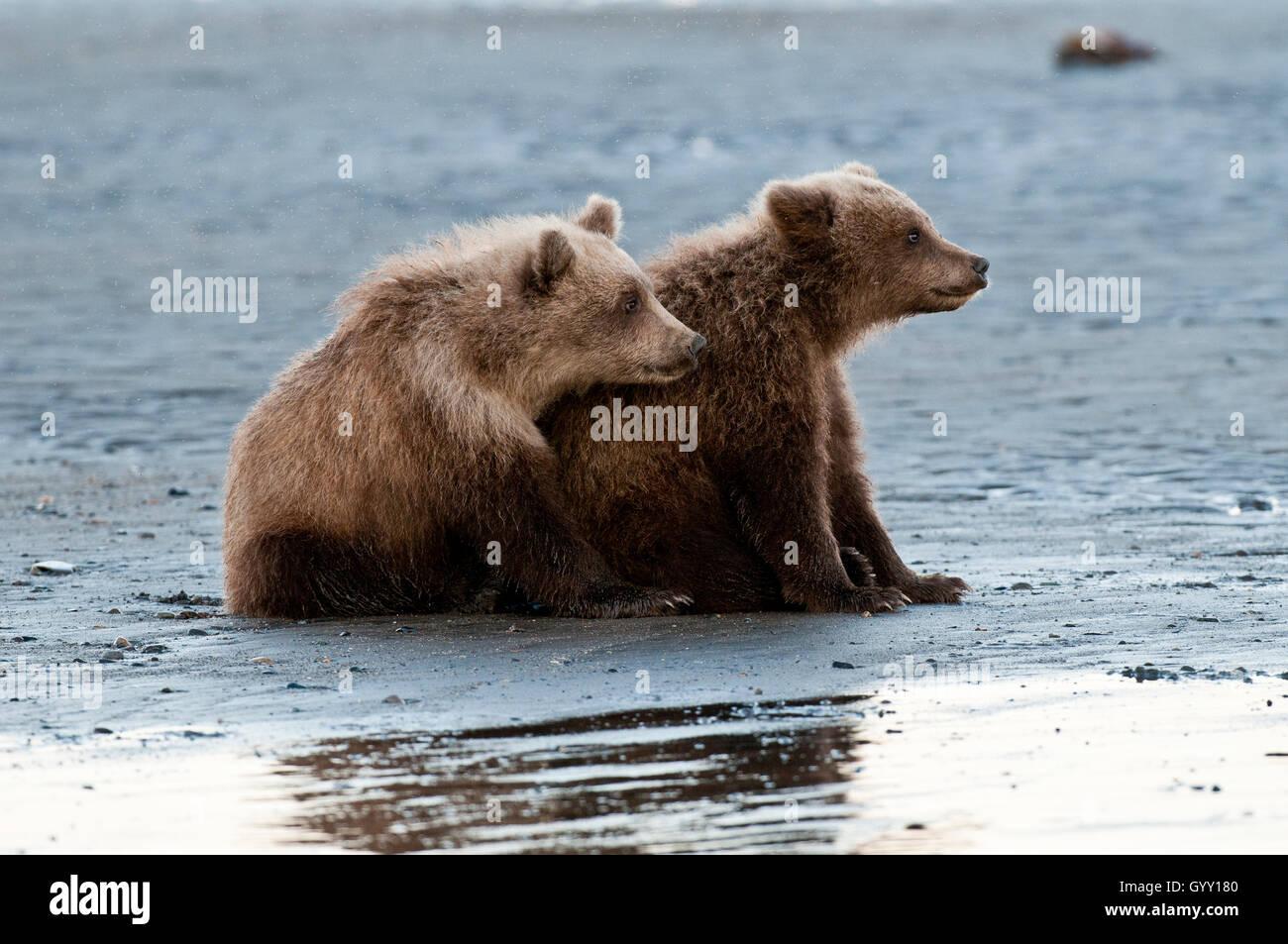 Crías de oso pardo (Ursus arctos) en el plano de marea en el Parque Nacional Lake Clark, Alaska Foto de stock
