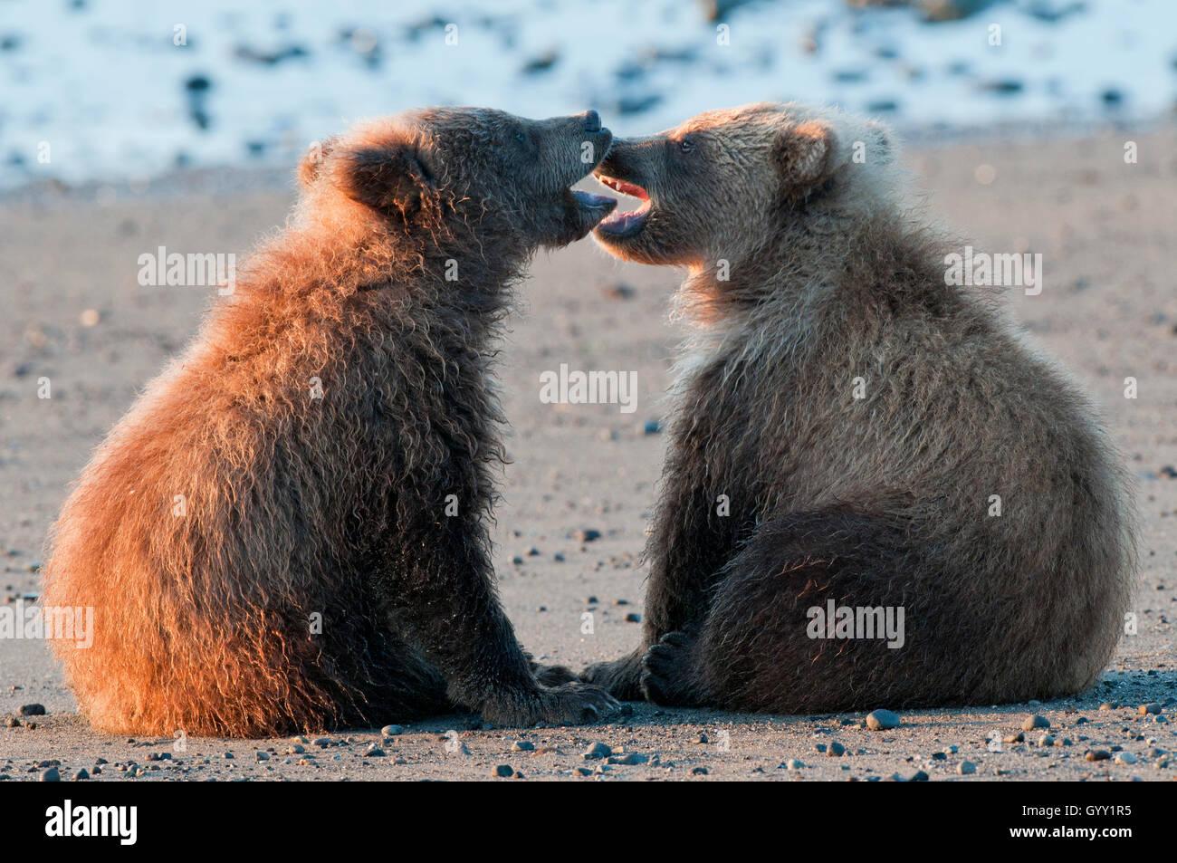 Crías de oso pardo (Ursus arctos) jugando en el Parque Nacional Lake Clark, Alaska Foto de stock