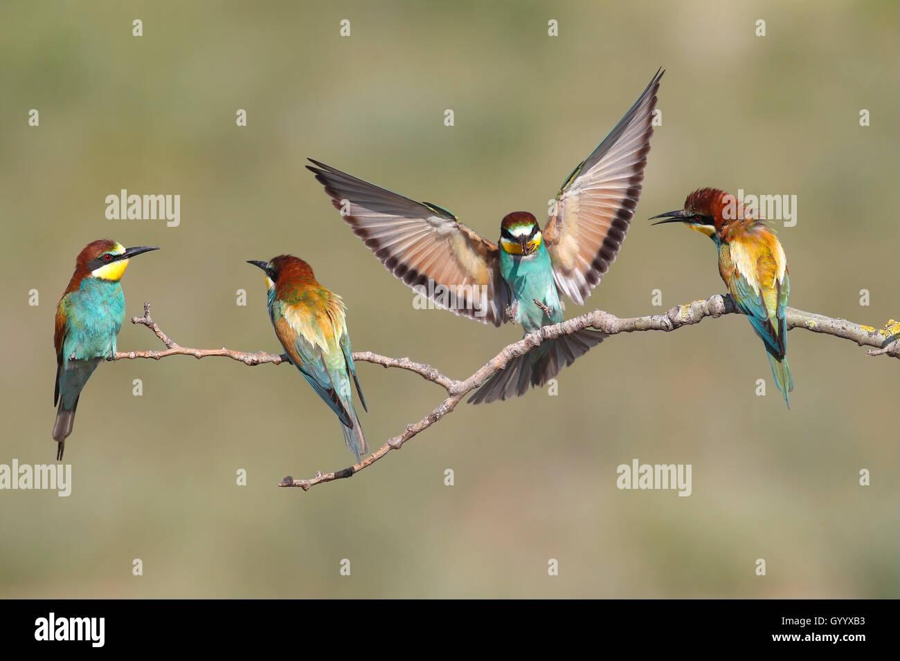 Unión abejarucos (Merops apiaster), cuatro aves, uno en vuelo, Nickelsdorf, Parque Nacional Lago Neusiedl, Burgenland, Austria Foto de stock