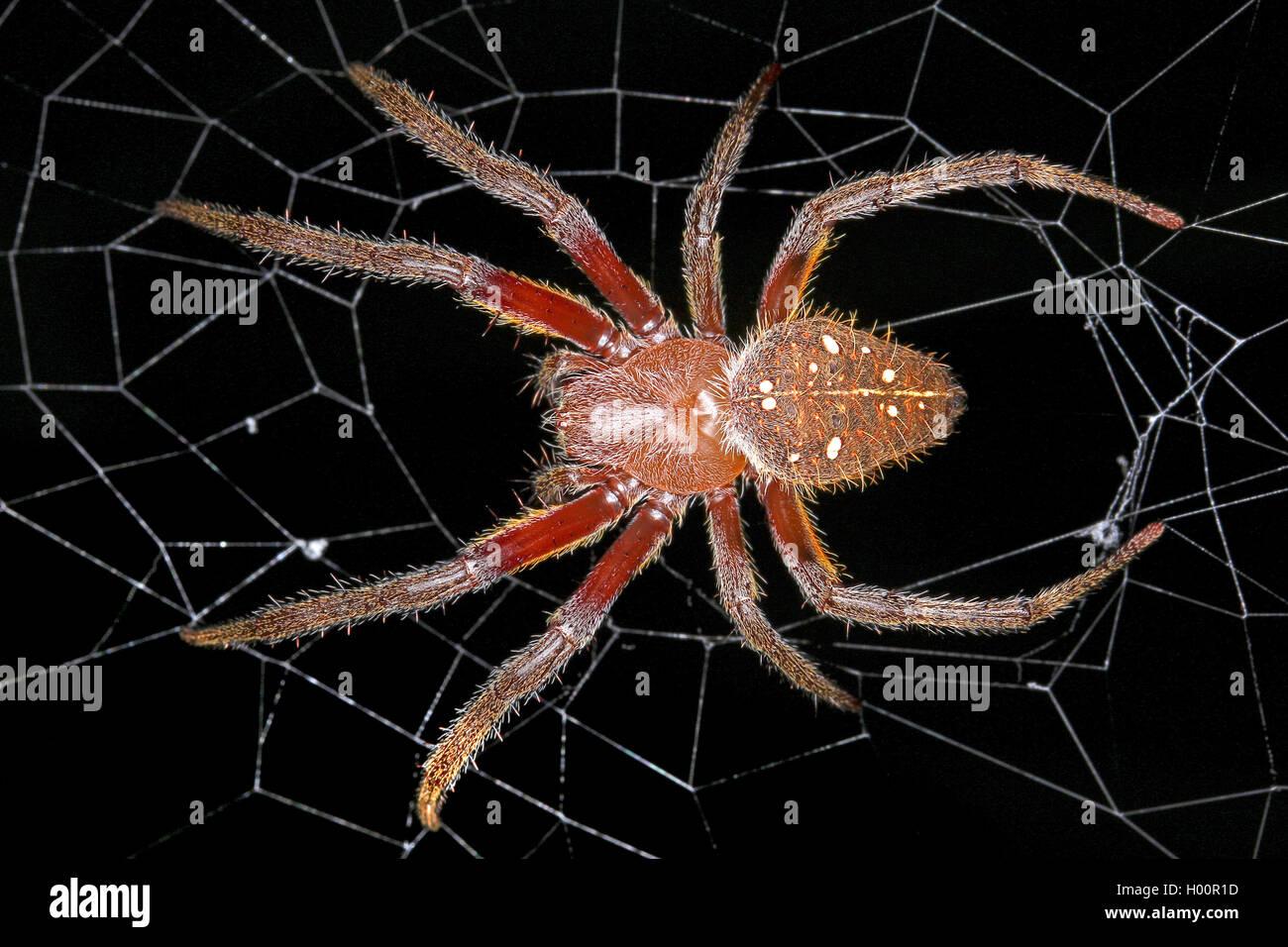 Radnetzspinne, Radnetz-Spinne, Eriophora fuliginea (Eriophora fuliginea), en ihrem Netz, Costa Rica | ord-tejido Imagen De Stock