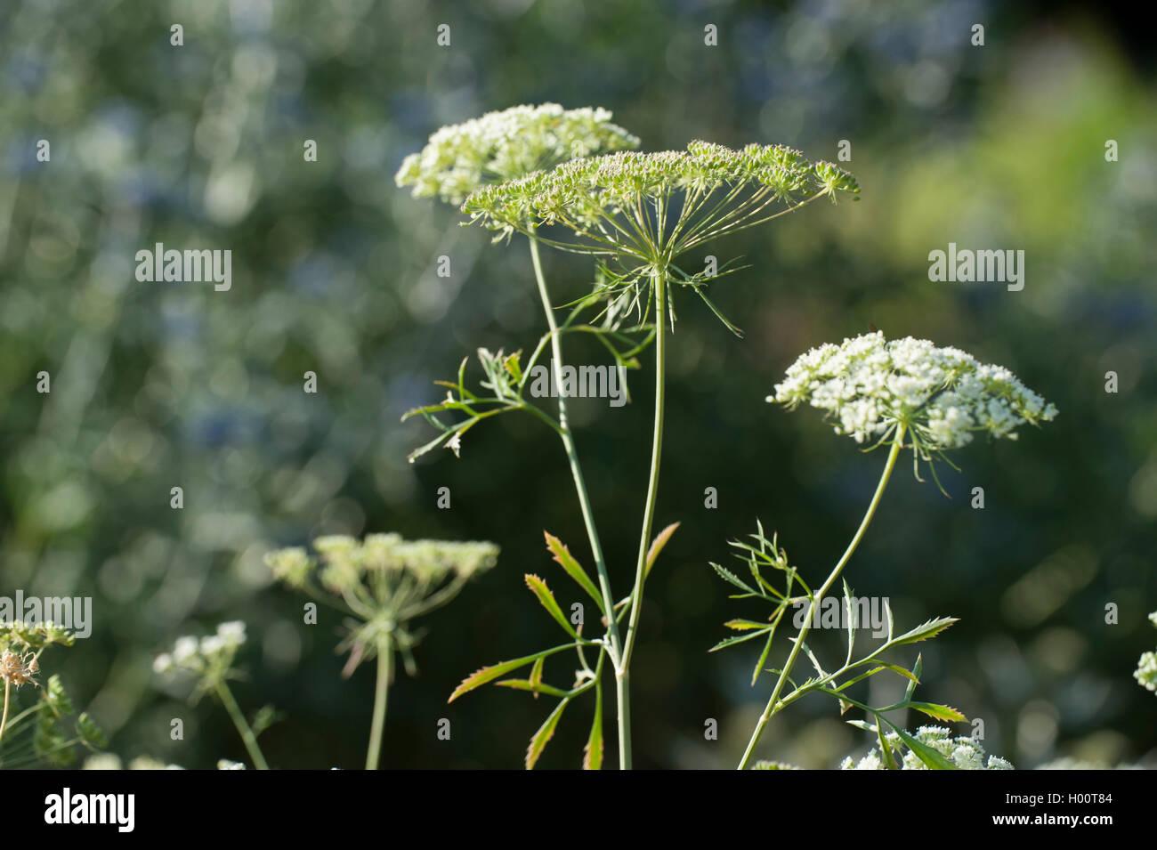 Bullwort, palillo ammi, Bishop's flower (Ammi Majus), floreciendo Foto de stock