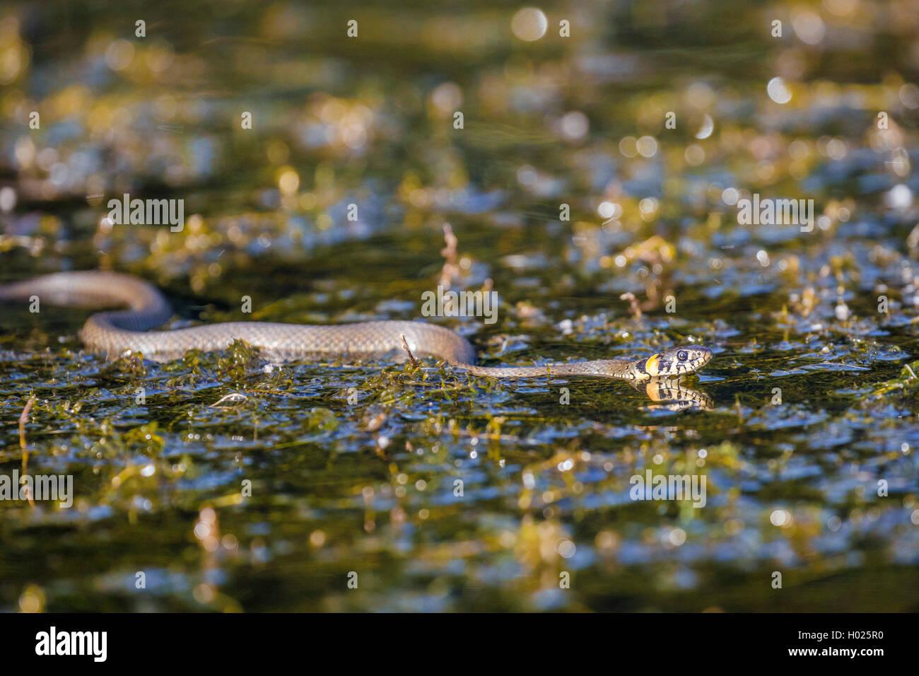 Culebra (Natrix natrix), nadar más densa waterweeds, vista lateral, Alemania, Baviera Foto de stock