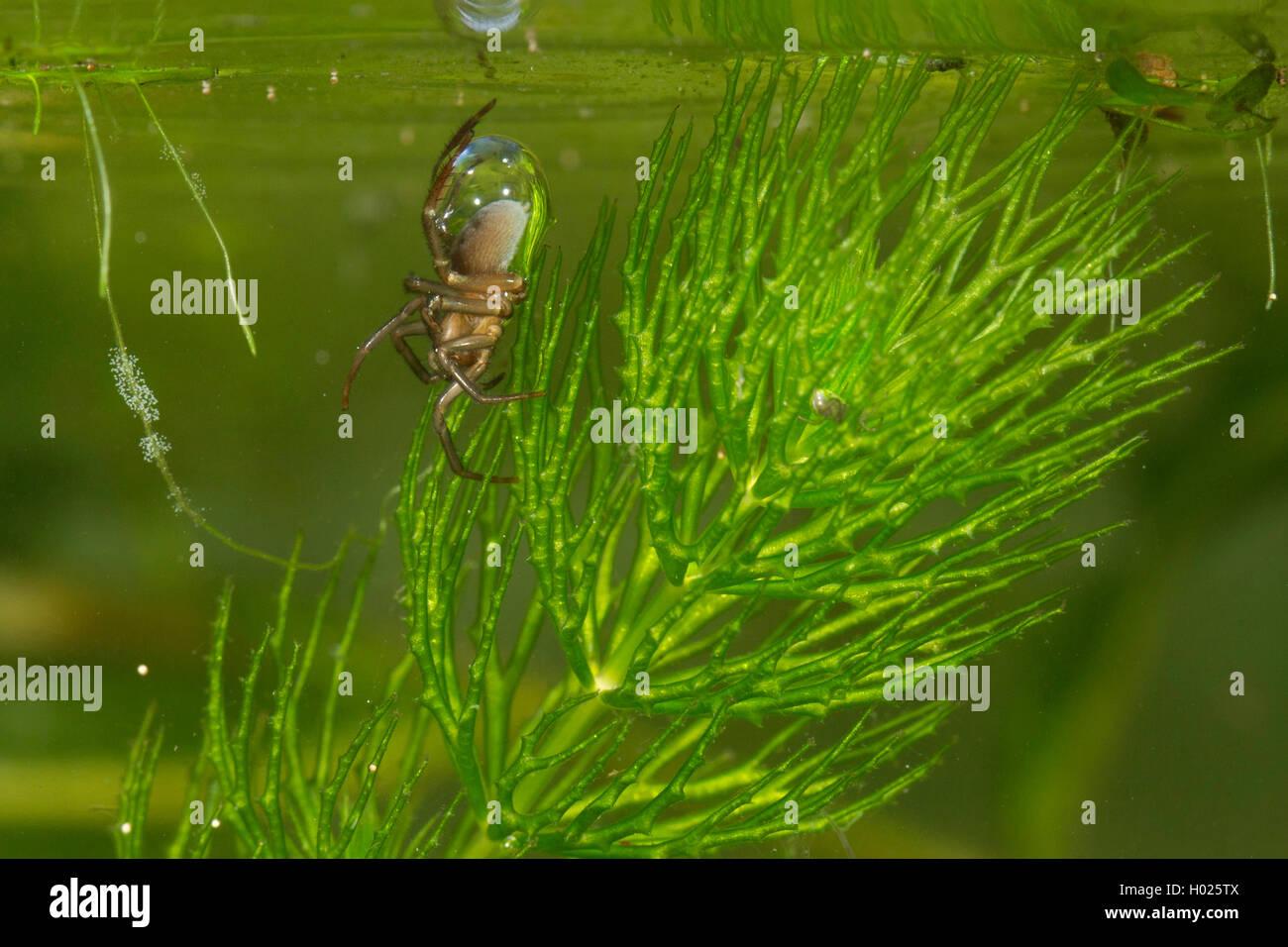 Wasserspinne, Wasser-Spinne, Silberspinne, Silber-Spinne (Argyroneta aquatica), Weibchen transportiert Luft zur Tauchglocke, De Foto de stock