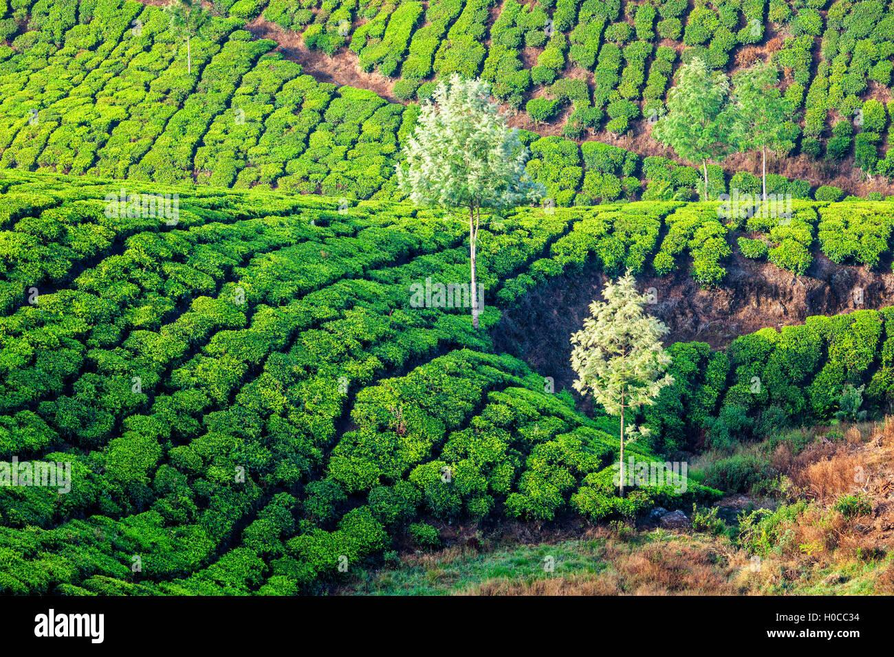 Las plantaciones de té verde Imagen De Stock