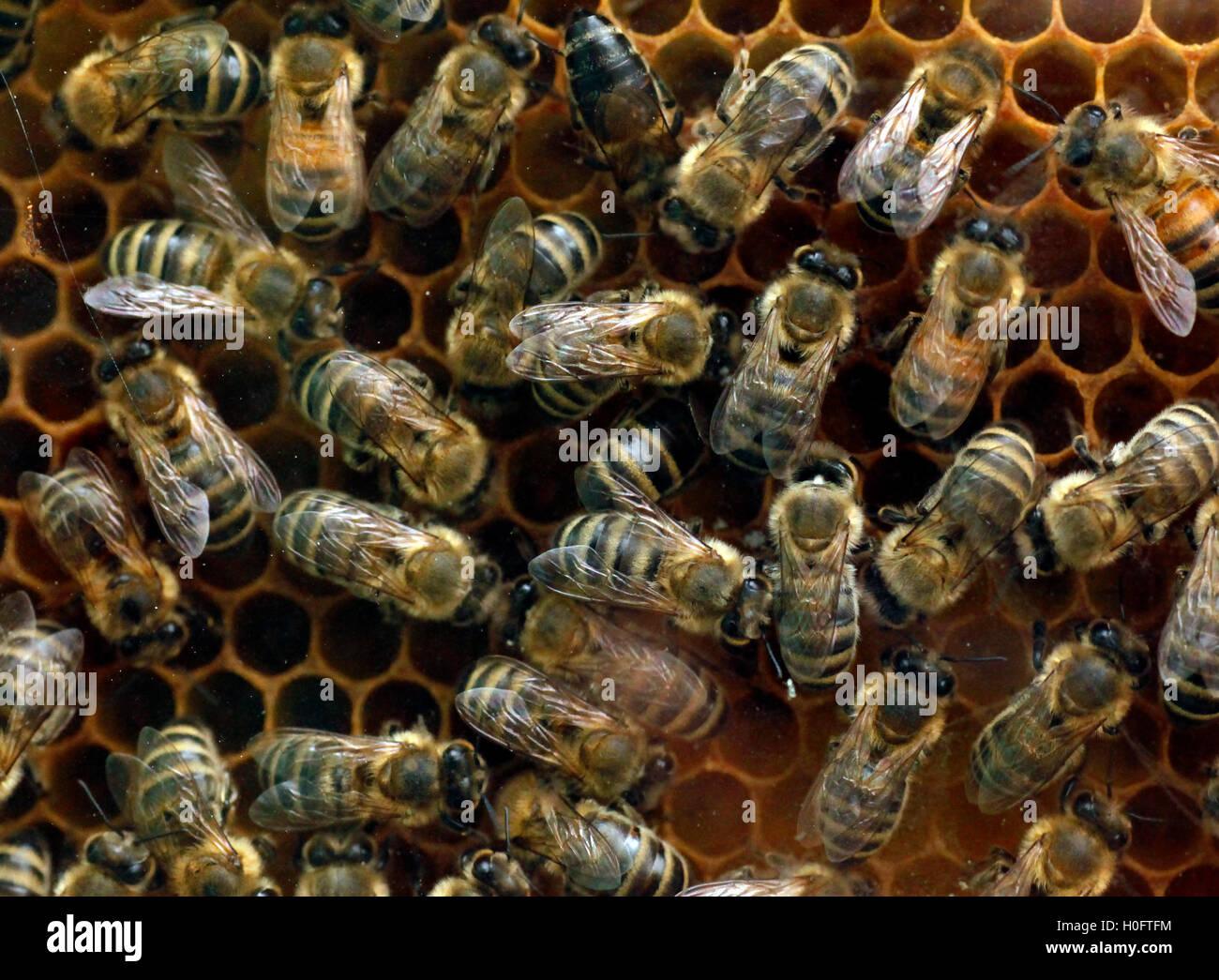 Las abejas de miel en un panal de miel fresca bastidor haciendo Imagen De Stock