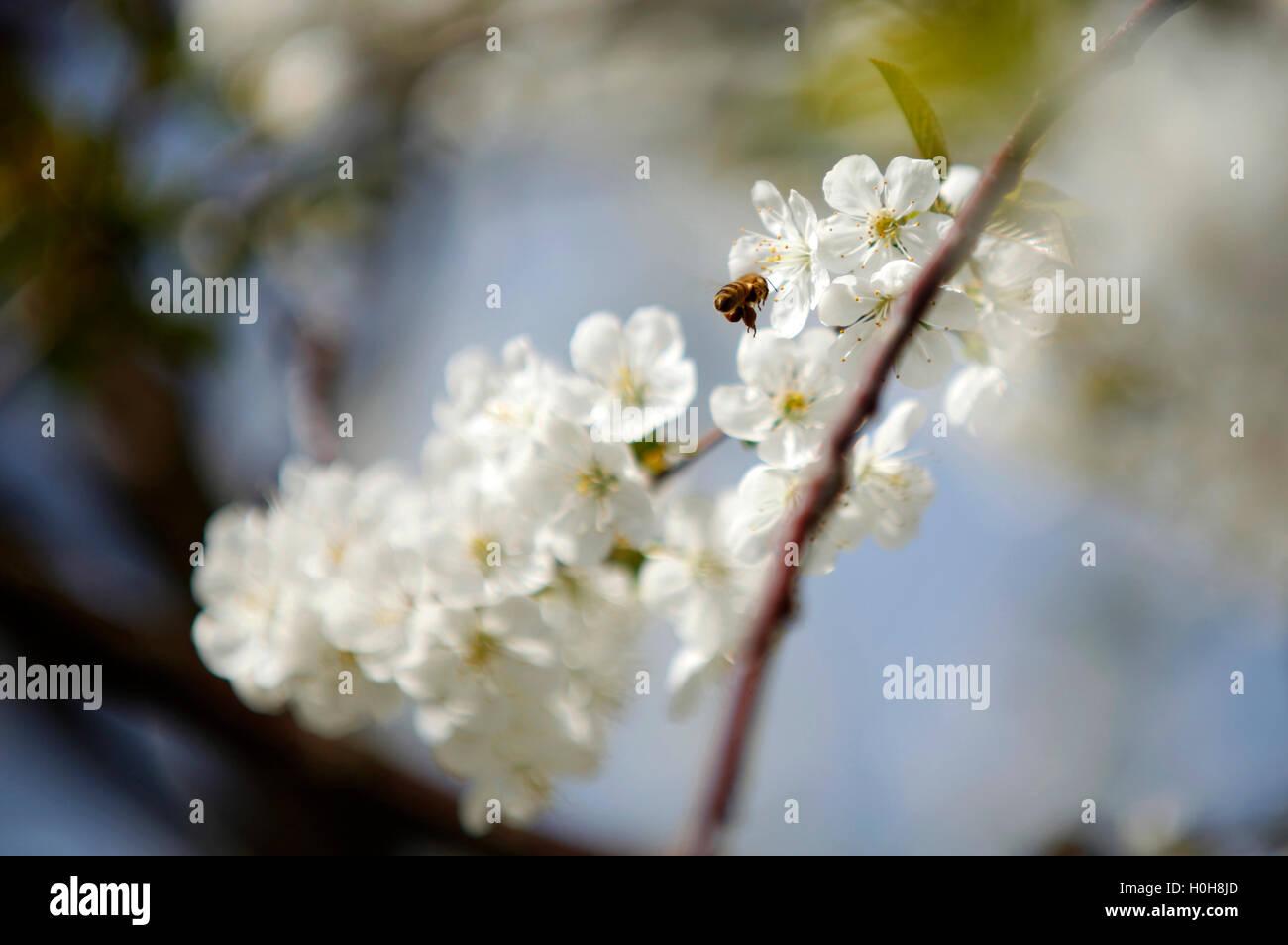 Las abejas de miel en una flor de cerezo recolectando miel Imagen De Stock
