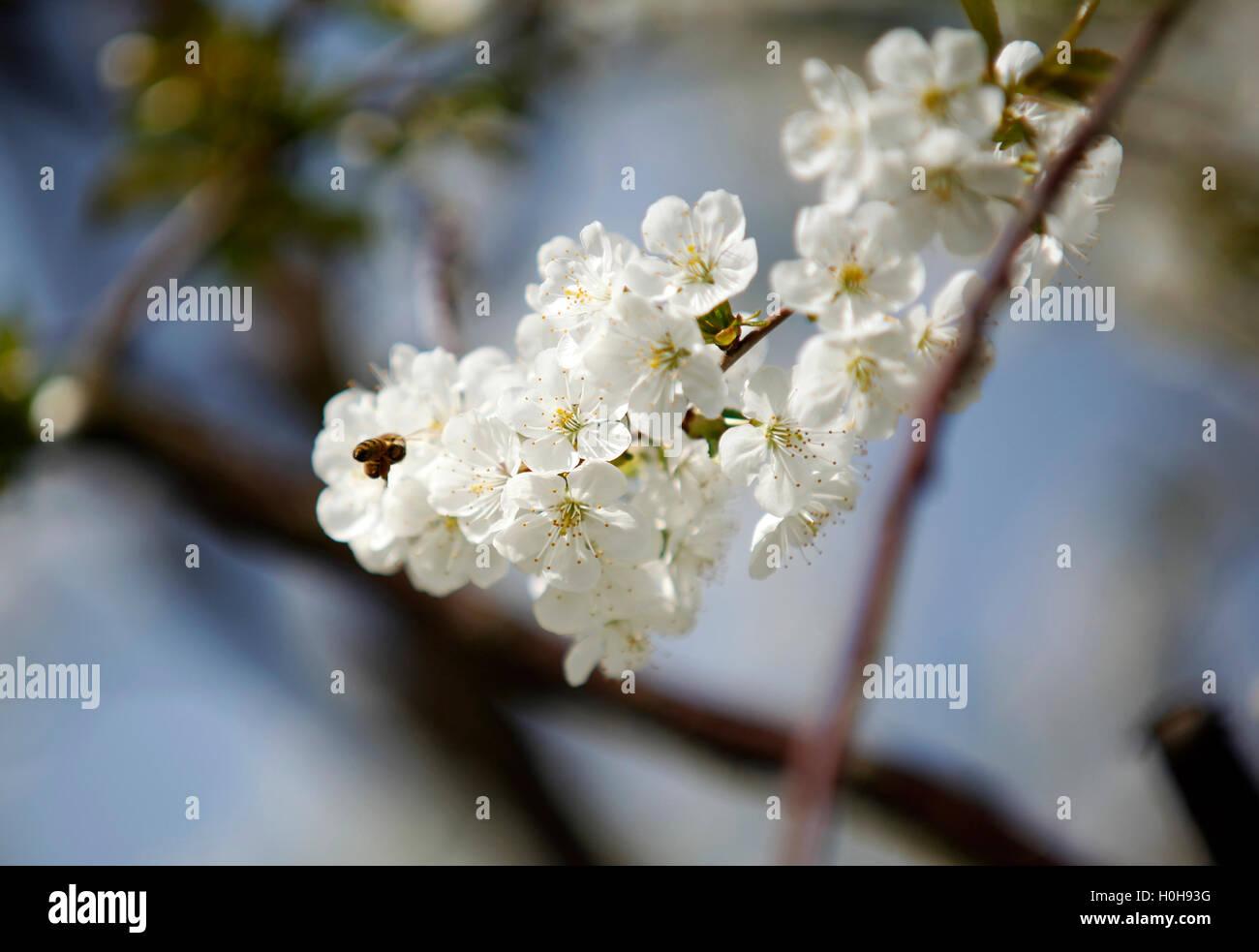 Las abejas de miel en una flor de cerezo recolectando miel 4 Imagen De Stock