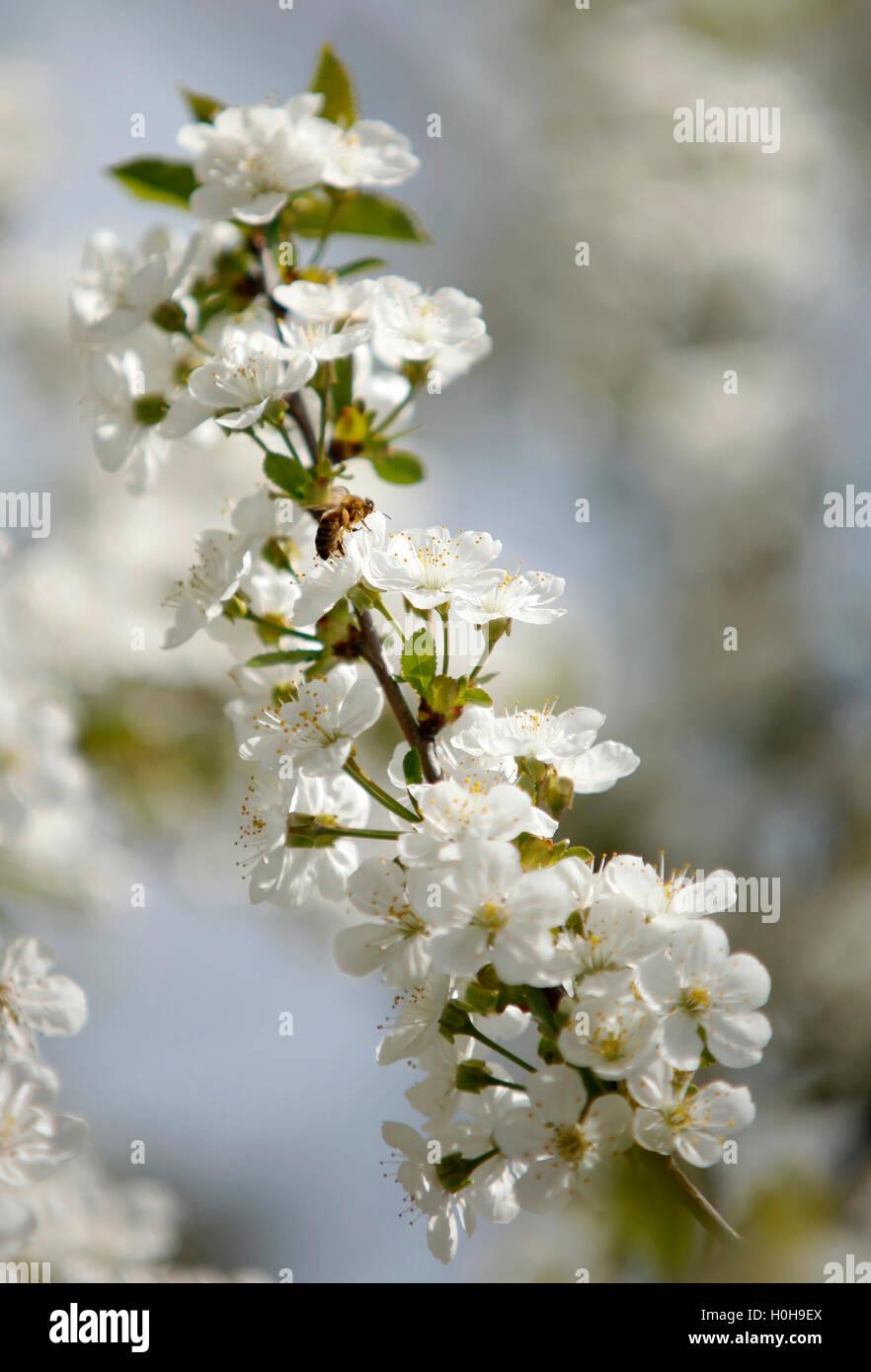 Las abejas de miel en una flor de cerezo recolectando miel 2 Imagen De Stock