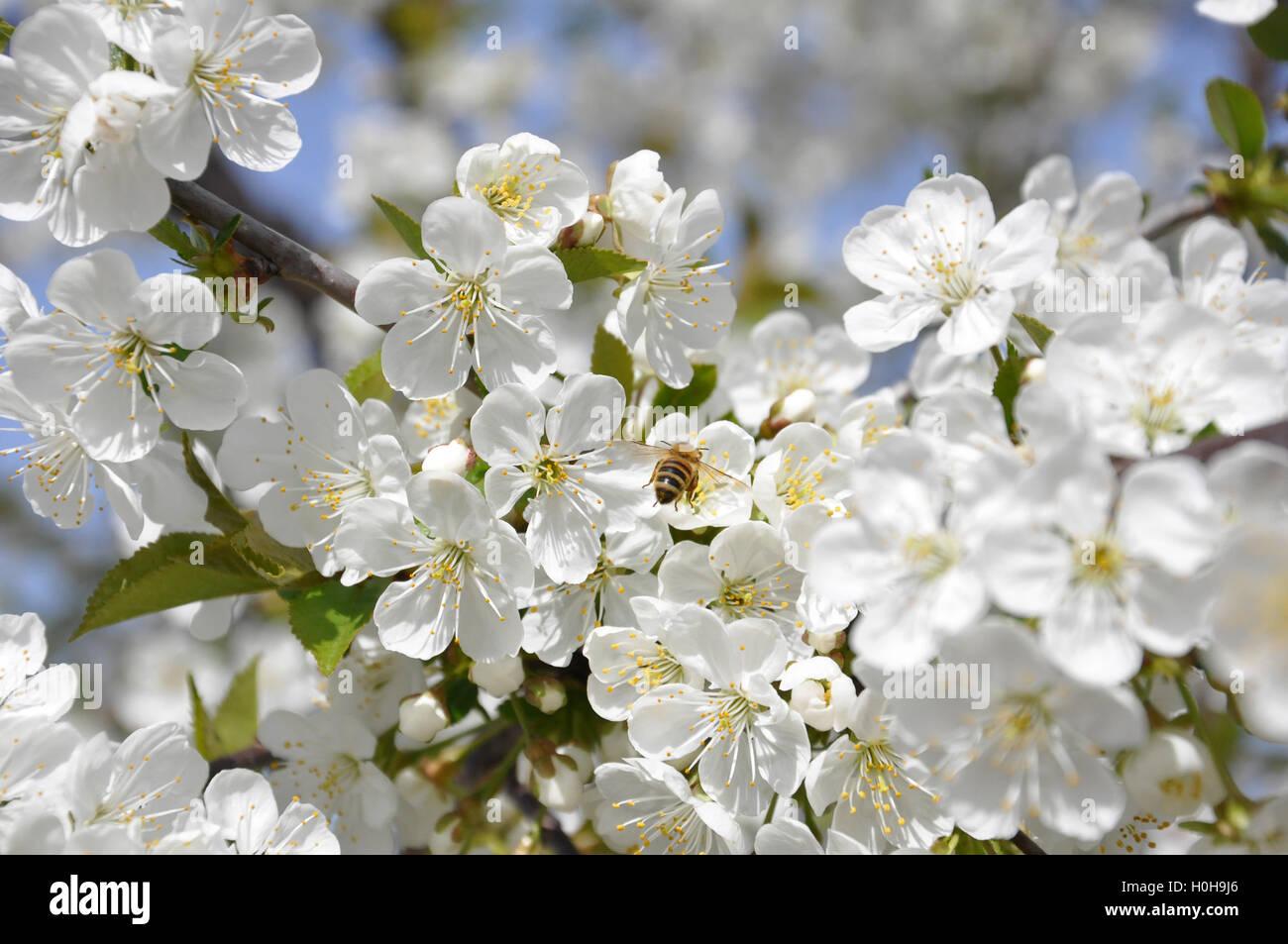Las abejas de miel en una flor de cerezo recolectando miel 3 Imagen De Stock