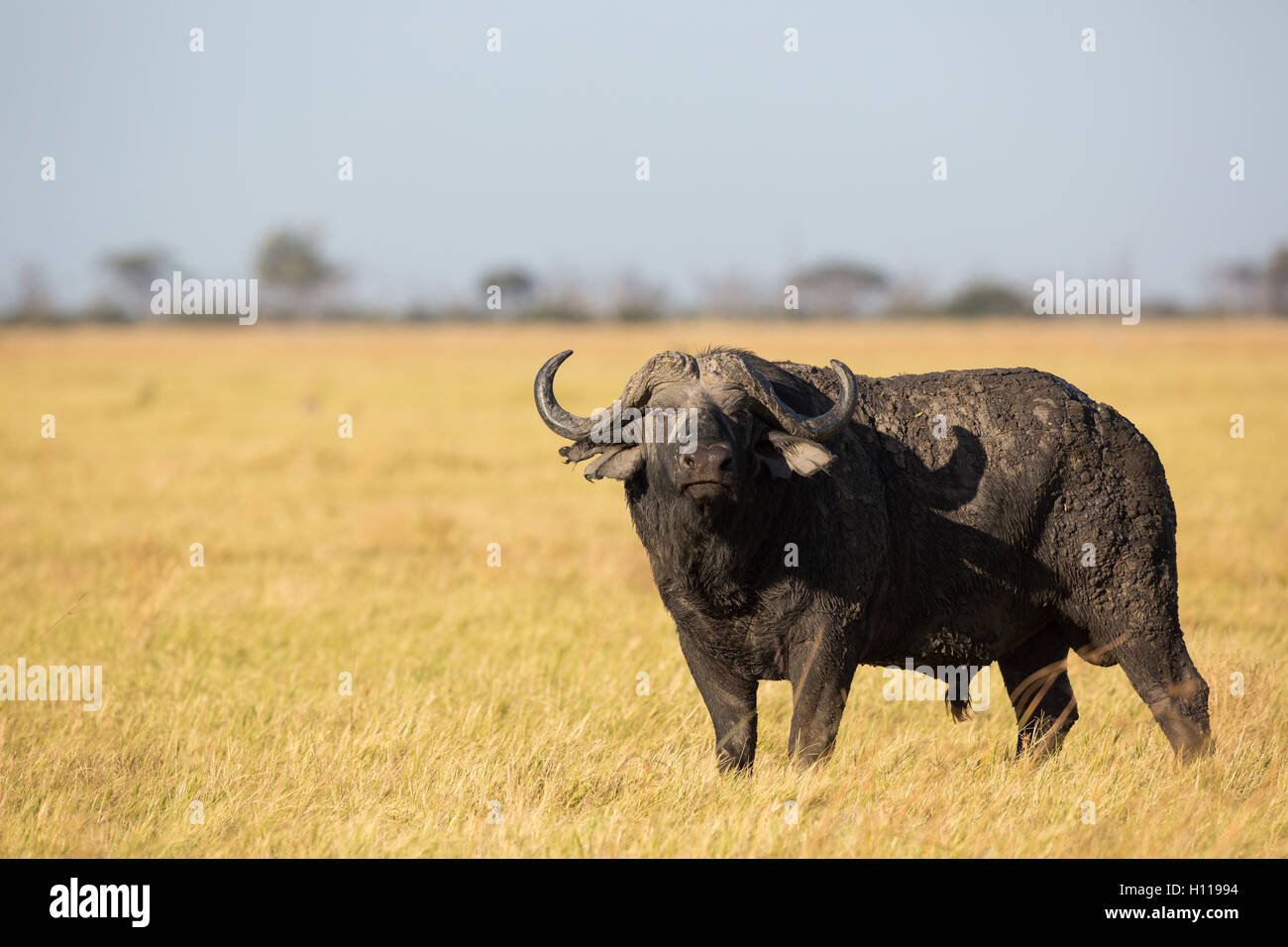 Un fondo fangoso, Lone buffalo (Syncerus caffer) Bull en el Savuti marsh pastizales Imagen De Stock